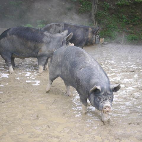 鹿児島黒豚近影