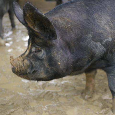鹿児島黒豚特徴